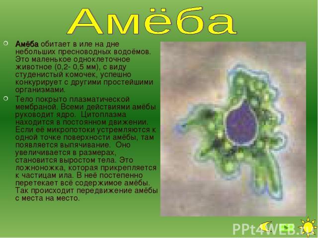 Амёба обитает в иле на дне небольших пресноводных водоёмов. Это маленькое одноклеточное животное (0,2- 0,5 мм), с виду студенистый комочек, успешно конкурирует с другими простейшими организмами. Тело покрыто плазматической мембраной. Всеми действиям…