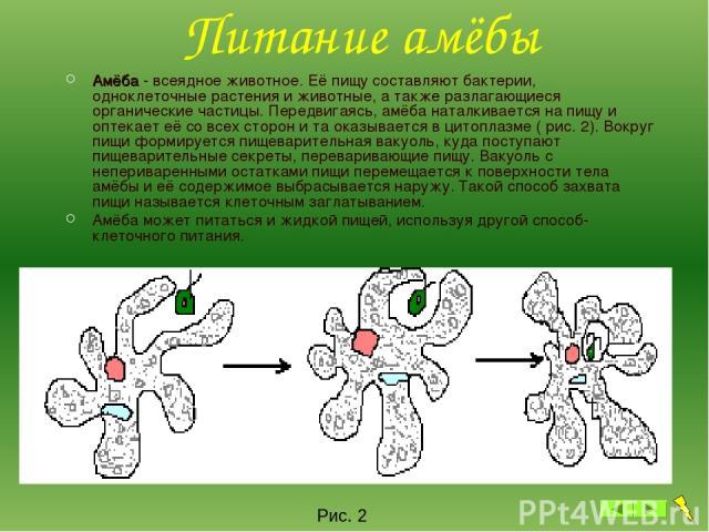Питание амёбы Амёба - всеядное животное. Её пищу составляют бактерии, одноклеточные растения и животные, а также разлагающиеся органические частицы. Передвигаясь, амёба наталкивается на пищу и оптекает её со всех сторон и та оказывается в цитоплазме…