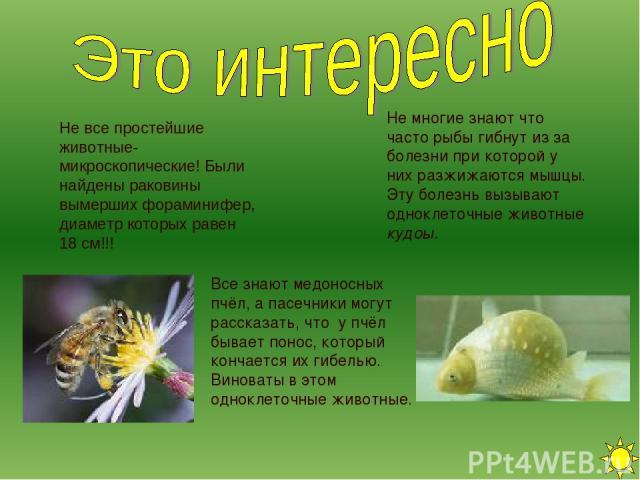Не все простейшие животные- микроскопические! Были найдены раковины вымерших фораминифер, диаметр которых равен 18 см!!! Все знают медоносных пчёл, а пасечники могут рассказать, что у пчёл бывает понос, который кончается их гибелью. Виноваты в этом …