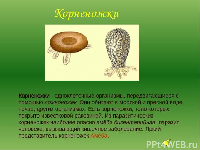Корненожки - одноклеточные организмы, передвигающиеся с помощью ложноножек. Они обитают в морской и пресной воде, почве, других организмах. Есть корненожки, тело которых покрыто известковой раковиной. Из паразитических корненожек наиболее опасно амё…