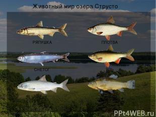 Экологические проблемы озера Струсто Слив сточных вод в озеро Гибель рыбы от заг