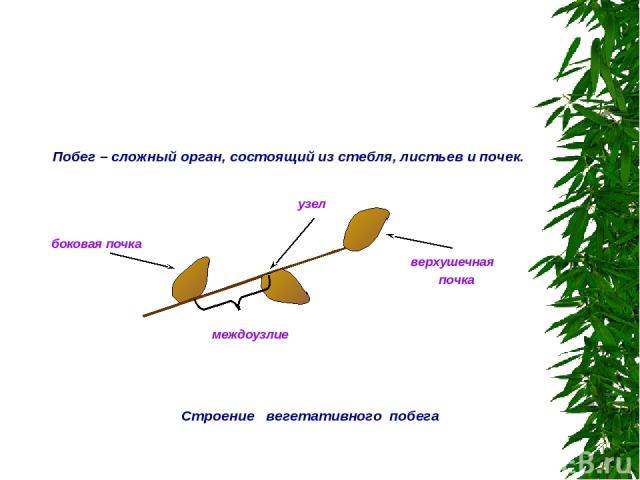Строение вегетативного побега узел верхушечная почка боковая почка междоузлие Побег – сложный орган, состоящий из стебля, листьев и почек.