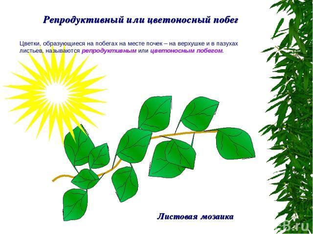 Репродуктивный или цветоносный побег Цветки, образующиеся на побегах на месте почек – на верхушке и в пазухах листьев, называются репродуктивным или цветоносным побегом. Листовая мозаика