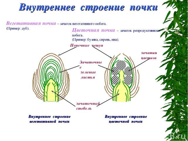 Внутреннее строение почки Вегетативная почка – зачаток вегетативного побега. (Пример: дуб). Внутреннее строение вегетативной почки Цветочная почка – зачаток репродуктивного побега. (Пример: бузина, сирень, ива). Внутреннее строение цветочной почки з…