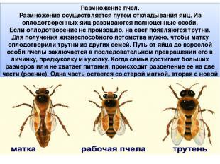 Размножение пчел. Размножение осуществляется путем откладывания яиц. Из оплодотв
