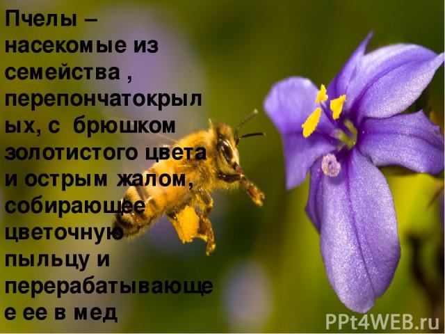 Пчелы – насекомые из семейства , перепончатокрылых, с брюшком золотистого цвета и острым жалом, собирающее цветочную пыльцу и перерабатывающее ее в мед
