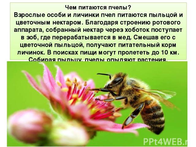 Чем питаются пчелы? Взрослые особи и личинки пчел питаются пыльцой и цветочным нектаром. Благодаря строению ротового аппарата, собранный нектар через хоботок поступает в зоб, где перерабатывается в мед. Смешав его с цветочной пыльцой, получают питат…