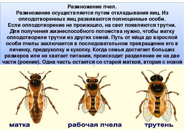 Размножение пчел. Размножение осуществляется путем откладывания яиц. Из оплодотворенных яиц развиваются полноценные особи. Если оплодотворение не произошло, на свет появляются трутни. Для получения жизнеспособного потомства нужно, чтобы матку оплодо…