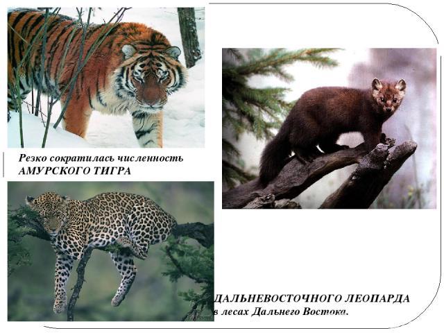 Резко сократилась численность АМУРСКОГО ТИГРА ДАЛЬНЕВОСТОЧНОГО ЛЕОПАРДА в лесах Дальнего Востока. Сокращается численность СОБОЛЯ в лесах Сибири.