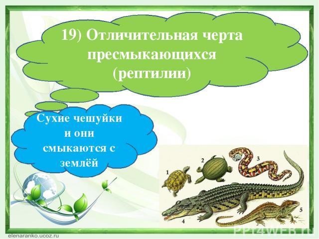 19) Отличительная черта пресмыкающихся (рептилии) Сухие чешуйки и они смыкаются с землёй