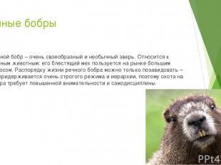 Речные бобры Речной бобр – очень своеобразный и необычный зверь. Относится к пуш
