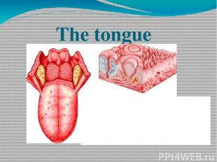 The tongue a muscular (taste and sensitive)