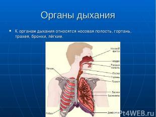 Органы дыхания К органам дыхания относятся носовая полость, гортань, трахея, бро