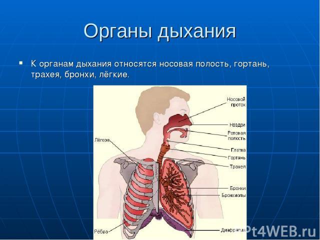 Органы дыхания К органам дыхания относятся носовая полость, гортань, трахея, бронхи, лёгкие.