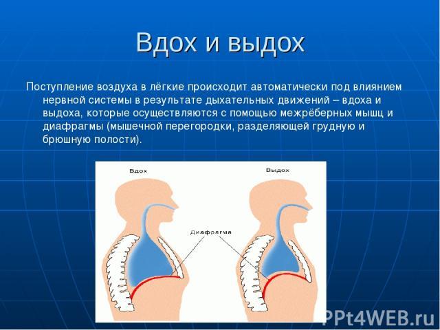 Вдох и выдох Поступление воздуха в лёгкие происходит автоматически под влиянием нервной системы в результате дыхательных движений – вдоха и выдоха, которые осуществляются с помощью межрёберных мышц и диафрагмы (мышечной перегородки, разделяющей груд…