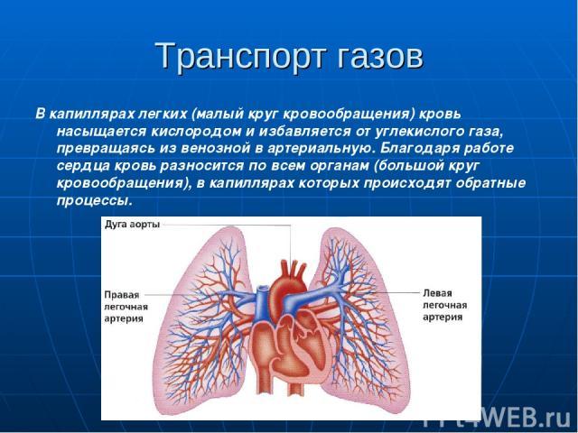 Транспорт газов В капиллярах легких (малый круг кровообращения) кровь насыщается кислородом и избавляется от углекислого газа, превращаясь из венозной в артериальную. Благодаря работе сердца кровь разносится по всем органам (большой круг кровообраще…