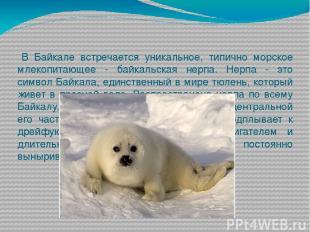 В Байкале встречается уникальное, типично морское млекопитающее - байкальская не