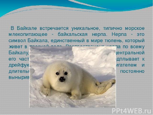 В Байкале встречается уникальное, типично морское млекопитающее - байкальская нерпа. Нерпа - это символ Байкала, единственный в мире тюлень, который живет в пресной воде. Распространена нерпа по всему Байкалу, но особенно широко в северной и централ…