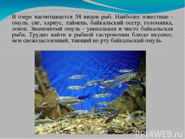 В озере насчитывается 58 видов рыб. Наиболее известные - омуль, сиг, хариус, таймень, байкальский осетр, голомянка, ленок. Знаменитый омуль - уникальная и чисто байкальская рыба. Трудно найти в рыбной гастрономии блюдо вкуснее, чем свежезасоленный, …