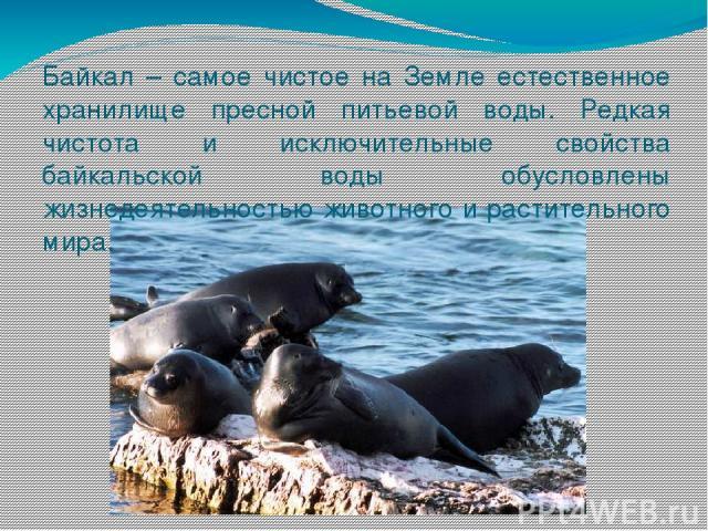 Байкал – самое чистое на Земле естественное хранилище пресной питьевой воды. Редкая чистота и исключительные свойства байкальской воды обусловлены жизнедеятельностью животного и растительного мира.