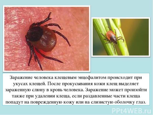 Заражение человека клещевым энцефалитом происходит при укусах клещей. После прокусывания кожи клещ выделяет зараженную слюну в кровь человека. Заражение может произойти также при удалении клеща, если раздавленные части клеща попадут на поврежденную …