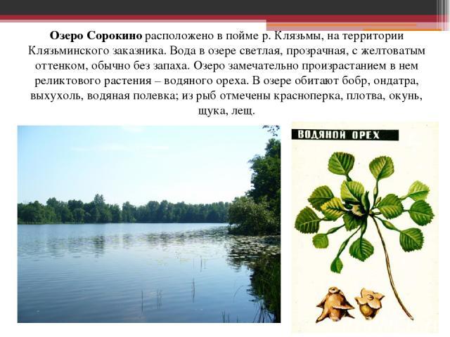 Озеро Сорокино расположено в пойме р. Клязьмы, на территории Клязьминского заказника. Вода в озере светлая, прозрачная, c желтоватым оттенком, обычно без запаха. Озеро замечательно произрастанием в нем реликтового растения – водяного ореха. В озере …
