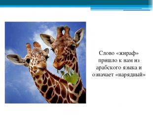 Слово «жираф» пришло к нам из арабского языка и означает «нарядный»