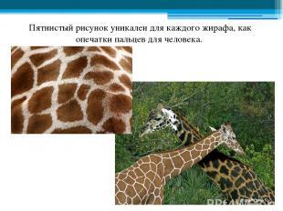Пятнистый рисунок уникален для каждого жирафа, как опечатки пальцев для человека