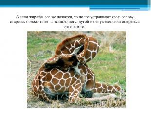 А если жирафы все же ложатся, то долго устраивают свою голову, стараясь положить