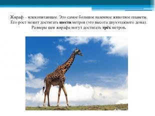 Жираф – млекопитающее. Это самое большое наземное животное планеты. Его рост мож
