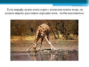 Если жирафу нужно взять корм с земли или попить воды, он должен широко расставит