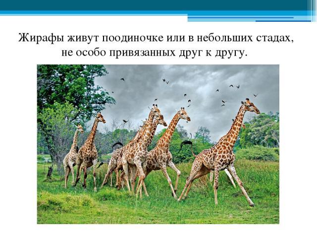 Жирафы живут поодиночке или в небольших стадах, не особо привязанных друг к другу.