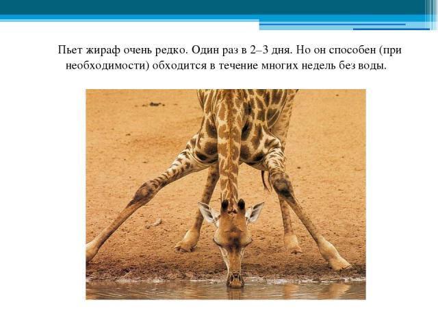 Пьет жираф очень редко. Один раз в 2–3 дня. Но он способен (при необходимости) обходится в течение многих недель без воды.