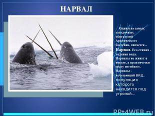 НАРВАЛ Одним из самых загадочных обитателей Арктического бассейна, является – На