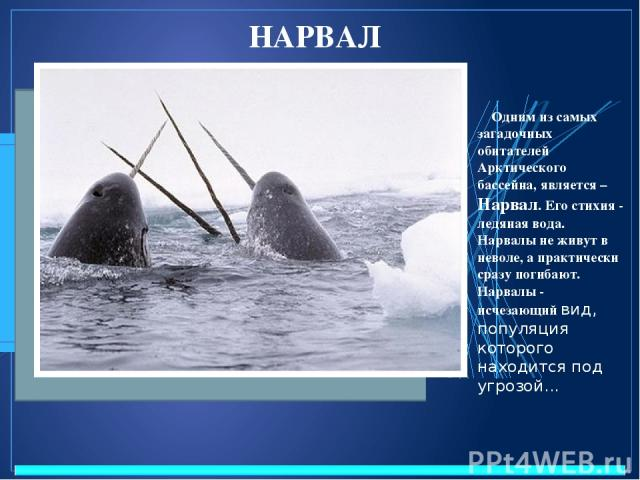 НАРВАЛ Одним из самых загадочных обитателей Арктического бассейна, является – Нарвал. Его стихия - ледяная вода. Нарвалы не живут в неволе, а практически сразу погибают. Нарвалы - исчезающий вид, популяция которого находится под угрозой...