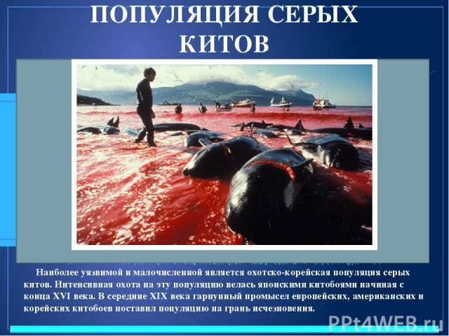 ПОПУЛЯЦИЯ СЕРЫХ КИТОВ Наиболее уязвимой и малочисленной является охотско-корейская популяция серых китов. Интенсивная охота на эту популяцию велась японскими китобоями начиная с конца XVI века. В середине XIX века гарпунный промысел европейских, аме…