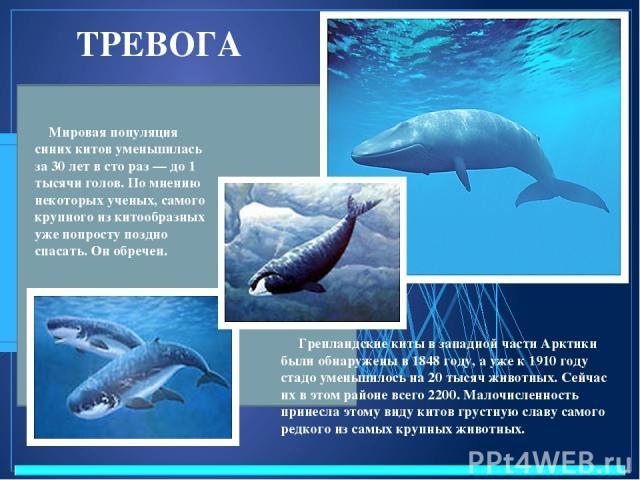 ТРЕВОГА Мировая популяция синих китов уменьшилась за 30 лет в сто раз — до 1 тысячи голов. По мнению некоторых ученых, самого крупного из китообразных уже попросту поздно спасать. Он обречен. Гренландские киты в западной части Арктики были обнаружен…