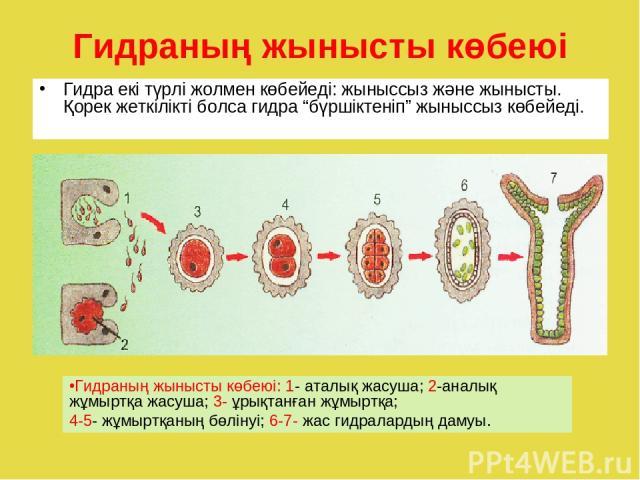 """Гидраның жынысты көбеюі Гидра екі түрлі жолмен көбейеді: жыныссыз және жынысты. Қорек жеткілікті болса гидра """"бүршіктеніп"""" жыныссыз көбейеді. Гидраның жынысты көбеюі: 1- аталық жасуша; 2-аналық жұмыртқа жасуша; 3- ұрықтанған жұмыртқа; 4-5- жұмыртқан…"""