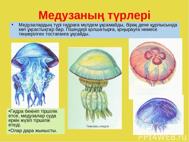 Медузаның түрлері Медузалардың түрі гидраға мүлдем ұқсамайды, бірақ дене құрлысында көп ұқсастықтар бар. Пішіндері қолшатырға, қоңырауға немесе төңкерілген тостағанға ұқсайды. Гидра бекініп тіршілік етсе, медузалар суда еркін жүзіп тіршілік етеді. О…