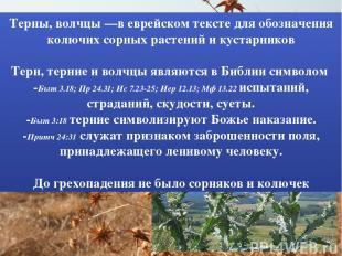 Терны, волчцы —в еврейском тексте для обозначения колючих сорных растений и куст