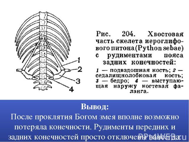 Вывод: После проклятия Богом змея вполне возможно потеряла конечности. Рудименты передних и задних конечностей просто отключены навсегда.