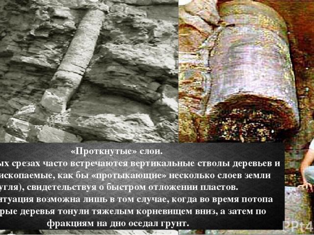 «Проткнутые» слои. В земляных срезах часто встречаются вертикальные стволы деревьев и другие ископаемые, как бы «протыкающие» несколько слоев земли (угля), свидетельствуя о быстром отложении пластов. Такая ситуация возможна лишь в том случае, когда …