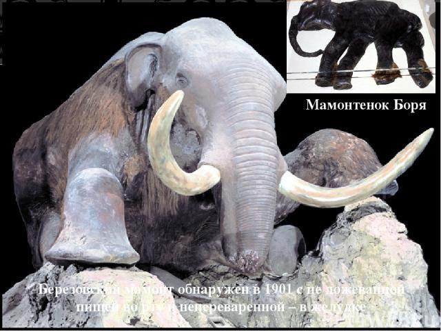 Березовский мамонт обнаружен в 1901 с не дожеванной пищей во рту и непереваренной – в желудке Мамонтенок Боря