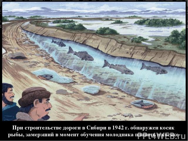 При строительстве дороги в Сибири в 1942 г. обнаружен косяк рыбы, замерзший в момент обучения молодняка плавать в косяке