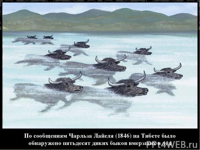 По сообщениям Чарльза Лайеля (1846) на Тибете было обнаружено пятьдесят диких быков вмерзших в лед