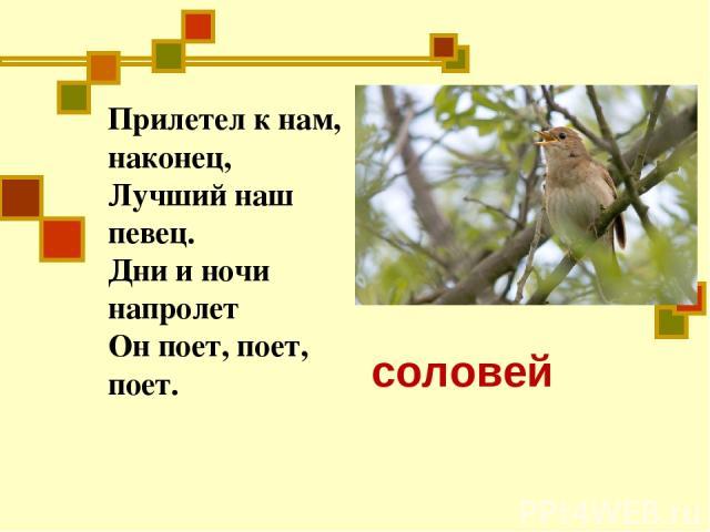 Прилетел к нам, наконец, Лучший наш певец. Дни и ночи напролет Он поет, поет, поет. С соловей