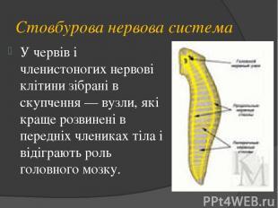 Стовбурова нервова система У червів і членистоногих нервові клітини зібрані в ск