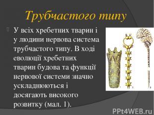Трубчастого типу У всіх хребетних тварин і у людини нервова система трубчастого