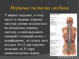 Нервова система людини У вищих хордових, в тому числі і в людини, нервова систем