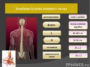 Зовнішня будова спинного мозку